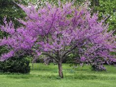 Eastern redbud, Cercis canadensis, small tree,  20 to 30 feet tall, 'Forest Pansy' has burgundy leaves, USDA Zones 4 to 9