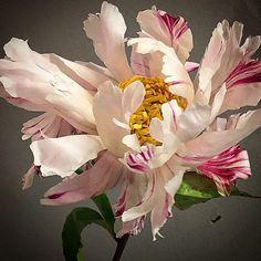 5 Creative Ways To Grow Small Flower Gardens Big Flowers, Beautiful Flowers, Art Floral, Small Flower Gardens, Parrot Tulips, Floral Photography, Botanical Art, Flower Photos, Planting Flowers