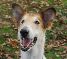 Judah is an adoptable Collie Dog in Houston, TX. Judah is an 11 year old, neutered male collie. He has lived his entire life outside so he is learning inside manners. He gets along with humans of all ...