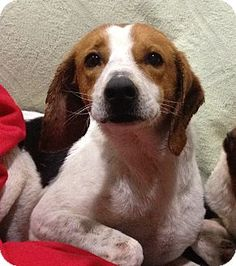CONNECTICUT ~ meet Fergie ~ an #adoptable #Beagle in #Glastonbury. This li'l tri-colored doll is waiting for you to meet & #adopt her at Companion Pet Rescue & Transport of New England   E-mail:  mailto:mollibo@gm...     Website:  www.cprdogs.com