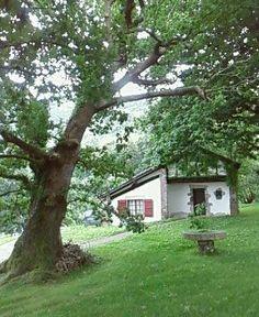 Chêne vénérable, à ITXASSOU   Pays Basque (France)