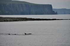 Dusty the Dolphin swimming with a snorkeller in Doolin, Co. Clare with Cliffs of Moher in the background.