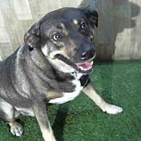 Orlando Florida German Shepherd Dog Meet Loki A For Adoption