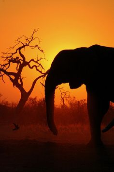elephant 2 at sunset