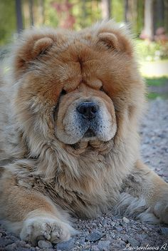 I grew up playing with two of these dogs. tiny little baby me, and two big furry chow dogs.