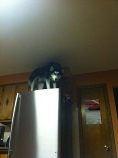 Damnit, Moon Moon! How did you.. How DID you get up there? I'm not even mad anymore, kinda impressed actually. How did you manage this????