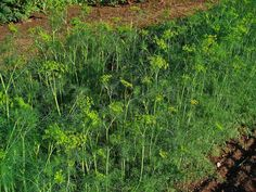 Dill is beneficial to cabbages, corn, lettuce, onions, and cucumbers when planted nearby by repelling or distracting aphids, spider mites, squash bugs, and cabbage looper. -Avoid planting dill near carrots or tomatoes.