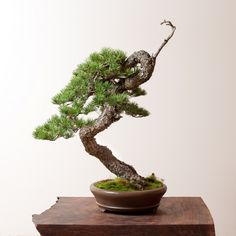 Ryan Neil Lodgepole Pine