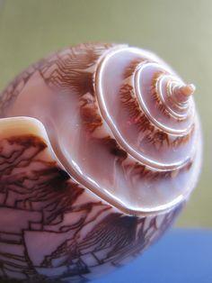 """""""Oliva porphyria"""" sea shell"""