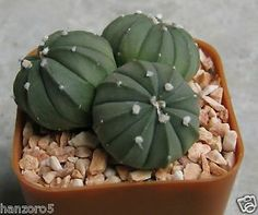 Astrophytum asterias sand dollar cactus trio individuals succulent ariocarpus