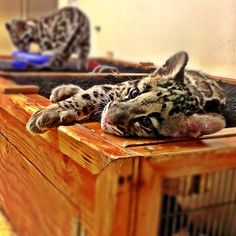 Clouded Leopard Cub photo by zookeeperrick, San Diego Zoo December 2012