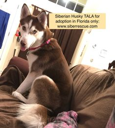 Our Florida Siberian Husky Rescue has beautiful Huskies all awaiting loving, forever homes in Florida: http://www.siberrescue.com/
