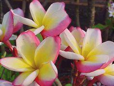 """The plumeria """"Siam Rainbow""""."""