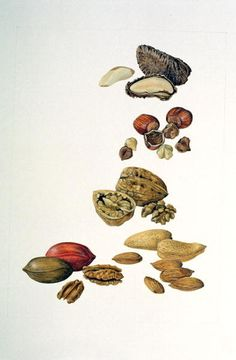 Nuts (coloured pencil on paper) Wall Art Prints by Felicity House