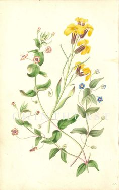 SCARLET PIMPERNEL, BLUE PIMPERNEL AND WILD WALLFLOWER. Louisa Anne Twamley. Chromolithograph from 'The Romance of Nature'. 1836