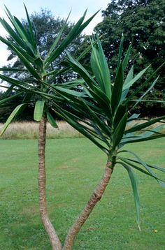 Find help & information on Yucca aloifolia Spanish bayonet from the RHS Outdoor Plants, Garden Plants, Ivy Plants, Yucca Plant, Conservatory Garden, Plant Identification, Le Far West, Propagation, Growing Plants