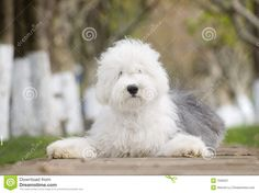 Dog Old English Sheepdog - Download From Over 35 Million High Quality Stock Photos, Images, Vectors. Sign up for FREE today. Image: 7556597