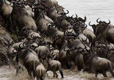 Watch migration in Kenya this season book in advance Kenya Adventure Safari Tours Tanzania Adventure Safaris