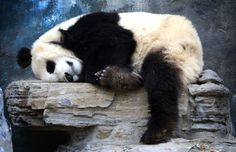 Sleepy bear (Mark Ralston / AFP - Getty Images)