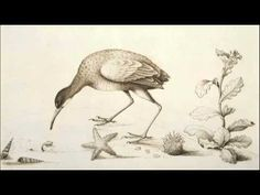 William Bartram, Drawing 56 from the botanical and zoological drawings courtesy of the Natural History Museum, London. August Bank Holiday, December, Learn To Sketch, Nature Sketch, How To Make Drawing, Curious Creatures, Plant Drawing, Bird Drawings, Natural History