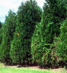 Leyland Cypress - $5.98 - This fast-growing landscape #evergreen is a great choice for a privacy hedge or screen. #gardening #trees