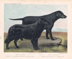 Retrievers Antique Print This is a superb old chromolithograph showing a Curly Coated Retriever called Toby, standing with a Flat Coat Retriever, Dusk.type: Dog Chromolithographs by Cassell'sThis print comes from a series of 28 dogs published by Cassell's around 1880, many people consider these to be the best dog prints ever produced. I'd agree that they are certainly up there in terms of richness of colour and quality of printing. They are also very rare, naturally I do my best to stock as…