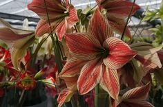 Amaryllis 'Exotic Star' might be a tropical butterfly, almost orchid-like shape. Enter Daily to win a $276 Bundle of Pillows Everyone who comments on my blog posts at www.comfortspringstation.com from 11/29/2016 to 12/15/2016 will receive one entry...