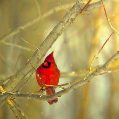 vvv Cardinal Photograph Nature Photography bird wall decor by Raceytay