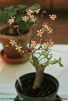 """Pelargonium crithmifolium :: The """"granddaddy"""" of all pelagorniums, as it's quite bulky, but grows very slow (& can live for 40+ years!)...the pictured one is so cute, though! A succulent perennial shrublet. Thick, fleshy stems w/ knobs & greenish yellow w/ peeling bark.  The leaves, when crushed have a ginger & nutmeg smell. Flowering occurs anywhere from May - Oct. 