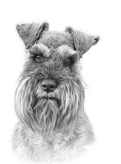"""See our internet site for even more information on """"Standard Schnauzer"""". It is actually an exceptional area to get more information. Schnauzer Miniature, Schnauzer Art, Outline Drawings, Animal Drawings, Standard Schnauzer, Dog Paintings, Dog Portraits, Dog Art, Animals And Pets"""