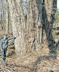 A champion red maple and Jeff Suraci,  a champion of trees | News from southeastern Connecticut