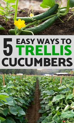 Gardening Ideas: Growing cucumbers vertically helps the stay healthy. Here are 5 DIY cucumber trellis ideas to try in your vegetable garden.