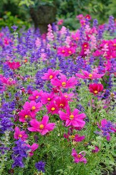 Colorful annual border from summer through fall - Salvia Viridis 'Blue Monday' , and Cosmos bipinnatus
