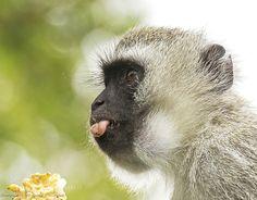 http://ift.tt/1K6283m #animals monkey.. by MargittaThomann http://ift.tt/1R7sxh8 #pierceandbiersadorf