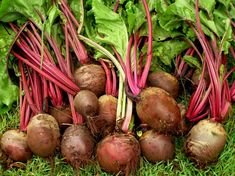 Grow the best organic Beetroot | Organic Gardener Magazine Australia