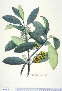 Hedycarya Arborea -- New Zealand - Curtis's bot. Mag. 49: t. 2350 [1822]. The Endeavour botanical illustrations - artist Daniel Mackenzie