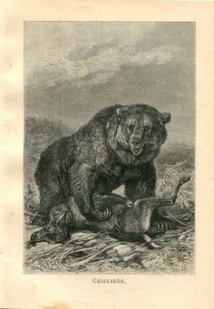 Grizzly Bear Print  Antique Engraving Black and by CarambasVintage, $16.00