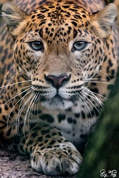 Yara, Killian's Jaguar Nature Animals, Animals And Pets, Cute Animals, Beautiful Cats, Animals Beautiful, Big Cats Art, Spotted Cat, Amur Leopard, Majestic Animals