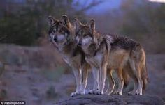 mexican red wolf in arizona - Bing Images