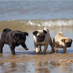 38 Ideas for funny animals dogs pugs Pug Puppies, Pet Dogs, Pets, Terrier Puppies, Boston Terrier, Bull Terriers, Pug Love, I Love Dogs, Cute Baby Animals