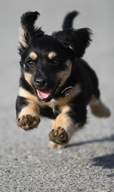 Running shot of an adorable cute puppy... click on picture to see more