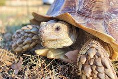 Read along to discover amazing facts about the giant African Sulcata Tortoise! Tortoise Food, Tortoise Habitat, Sulcata Tortoise, Tortoise Care, Giant Tortoise, Tortoise Turtle, Russian Tortoise, Reptiles And Amphibians, Tortoises