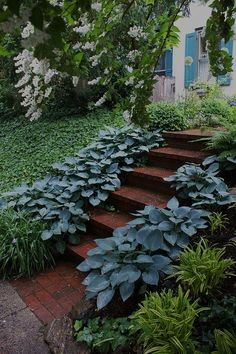 Blue hosta edging- my mom just got us these blue hostas to try this year. I hope they take off like the rest of them did!