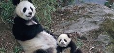 The last census revealed only 1,596 wild pandas existed, with 290 pandas in captivity around the world.