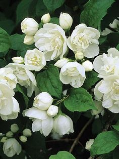 Philadelphus, Mock Orange 'Virginal'