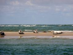 Zeehonden liggen lekker op de zandbank   Texel
