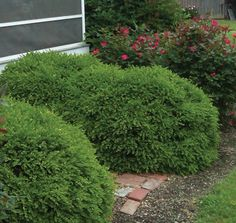 Buxus Green Ice®   Star® Roses and Plants   #PlantAStar