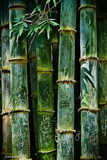 """chasingrainbowsforever: """"Bamboo - Alajuela, Costa Rica"""" ~ Photography by Phil Marion on Flick ✨ 🌸 🌹 ᘡℓvᘠ❤ﻸ Bamboo Art, Costa Rica, Shades Of Green, Textures Patterns, Green Colors, Colours, Mother Nature, Inktober, Exotic"""