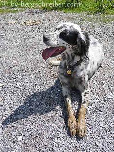Ich bin nicht schuld English Setter, Dogs, Animals, Zugspitze, Blame, Alps, Animais, Animales, Animaux