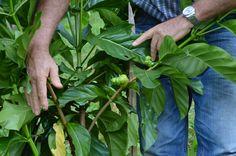 Pierre Larigaldie - Lovaris - Thailändische Heilkräuter & Kosmetik Unsere Heilpflanzen wachsen im sonnenverwöhnten Süden Thailands unter optimalen klimatischen Bedingungen. Die Plantage befindet sich mitten im Nationalpark Khao Sok.
